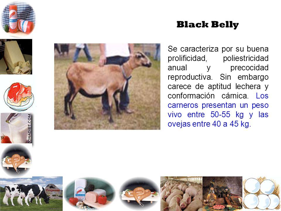 Black Belly Se caracteriza por su buena prolificidad, poliestricidad anual y precocidad reproductiva. Sin embargo carece de aptitud lechera y conforma