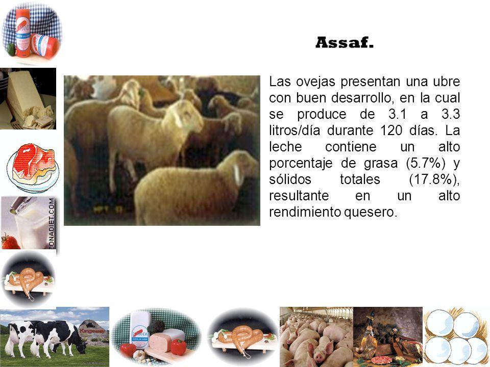 Assaf. Las ovejas presentan una ubre con buen desarrollo, en la cual se produce de 3.1 a 3.3 litros/día durante 120 días. La leche contiene un alto po
