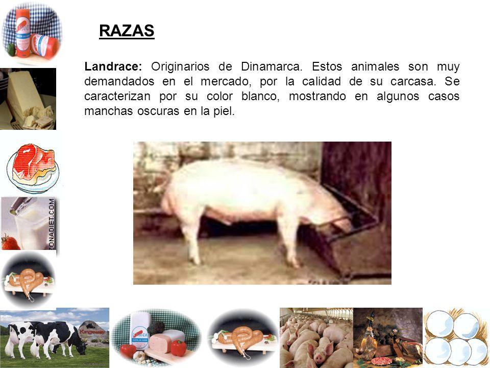 RAZAS Landrace: Originarios de Dinamarca. Estos animales son muy demandados en el mercado, por la calidad de su carcasa. Se caracterizan por su color
