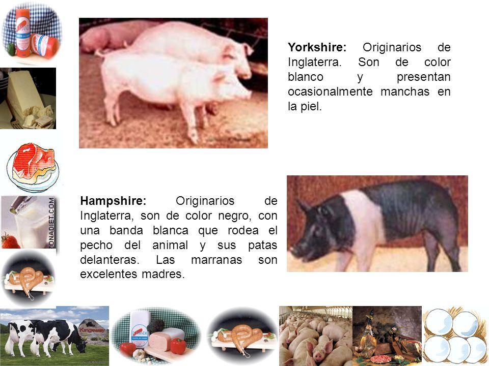 Yorkshire: Originarios de Inglaterra. Son de color blanco y presentan ocasionalmente manchas en la piel. Hampshire: Originarios de Inglaterra, son de