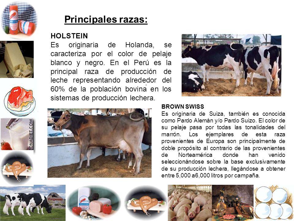 Principales razas: HOLSTEIN Es originaria de Holanda, se caracteriza por el color de pelaje blanco y negro. En el Perú es la principal raza de producc