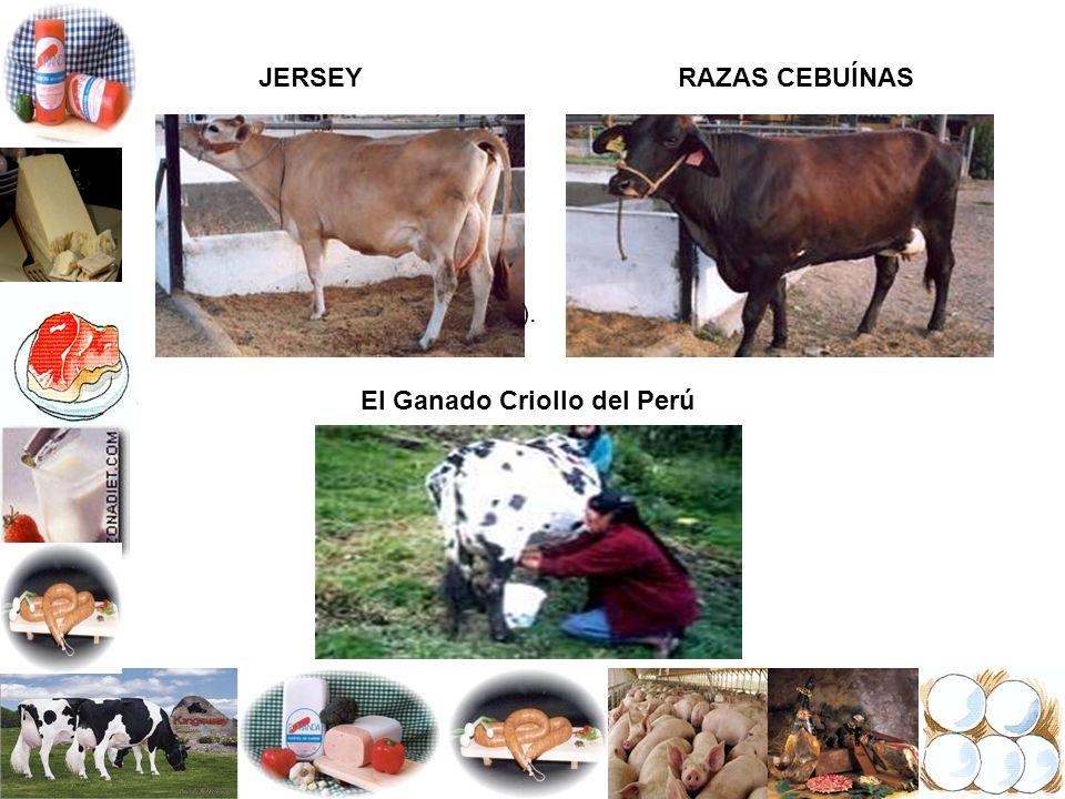 JERSEYRAZAS CEBUÍNAS El Ganado Criollo del Perú ).