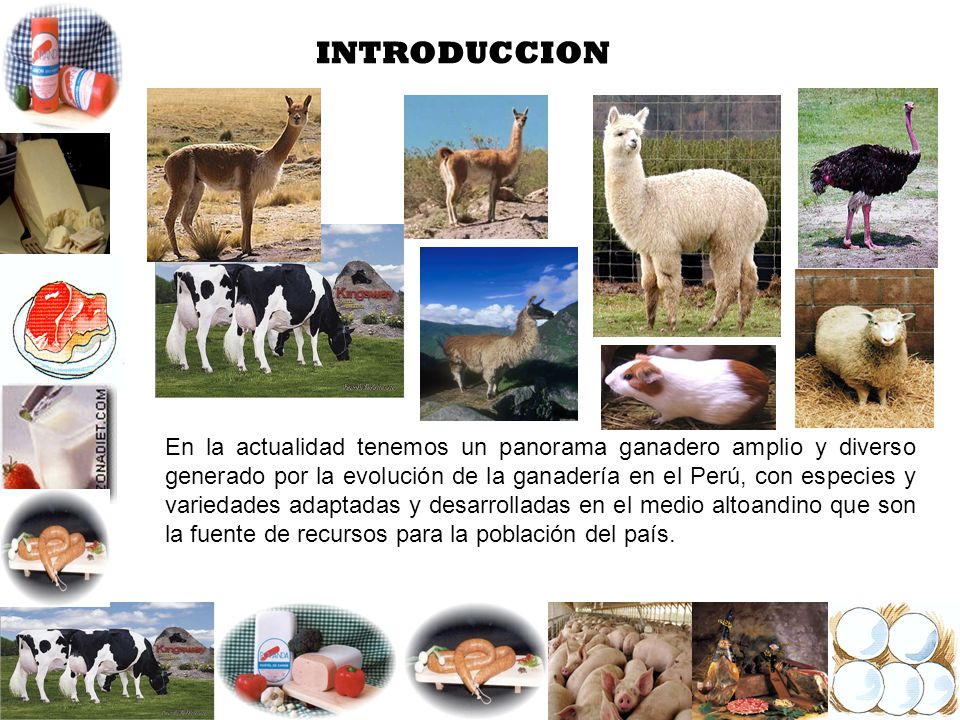 INTRODUCCION En la actualidad tenemos un panorama ganadero amplio y diverso generado por la evolución de la ganadería en el Perú, con especies y varie