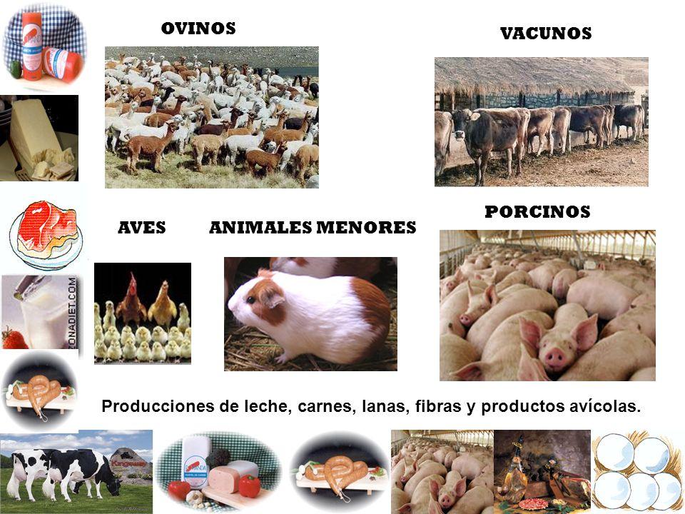 OVINOS VACUNOS PORCINOS AVES Producciones de leche, carnes, lanas, fibras y productos avícolas. ANIMALES MENORES