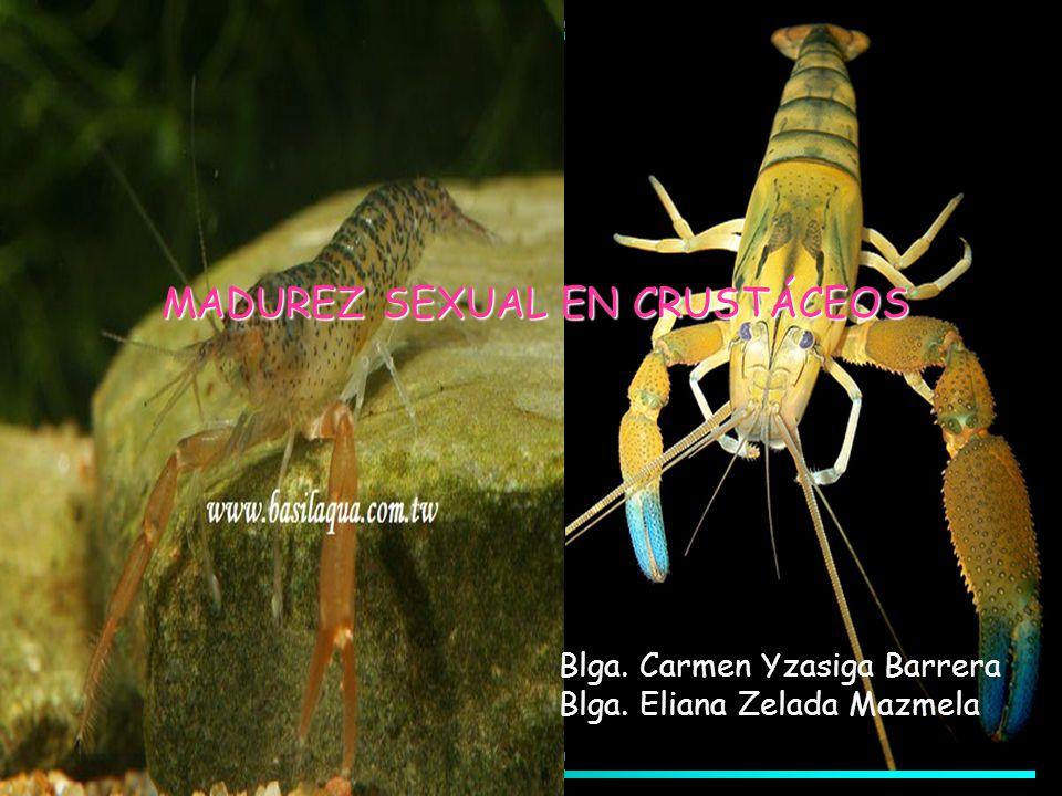 MADUREZ SEXUAL EN CRUSTÁCEOS Blga. Carmen Yzasiga Barrera Blga. Eliana Zelada Mazmela