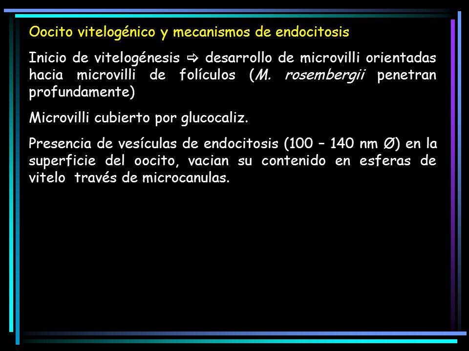 Oocito vitelogénico y mecanismos de endocitosis Inicio de vitelogénesis desarrollo de microvilli orientadas hacia microvilli de folículos (M.