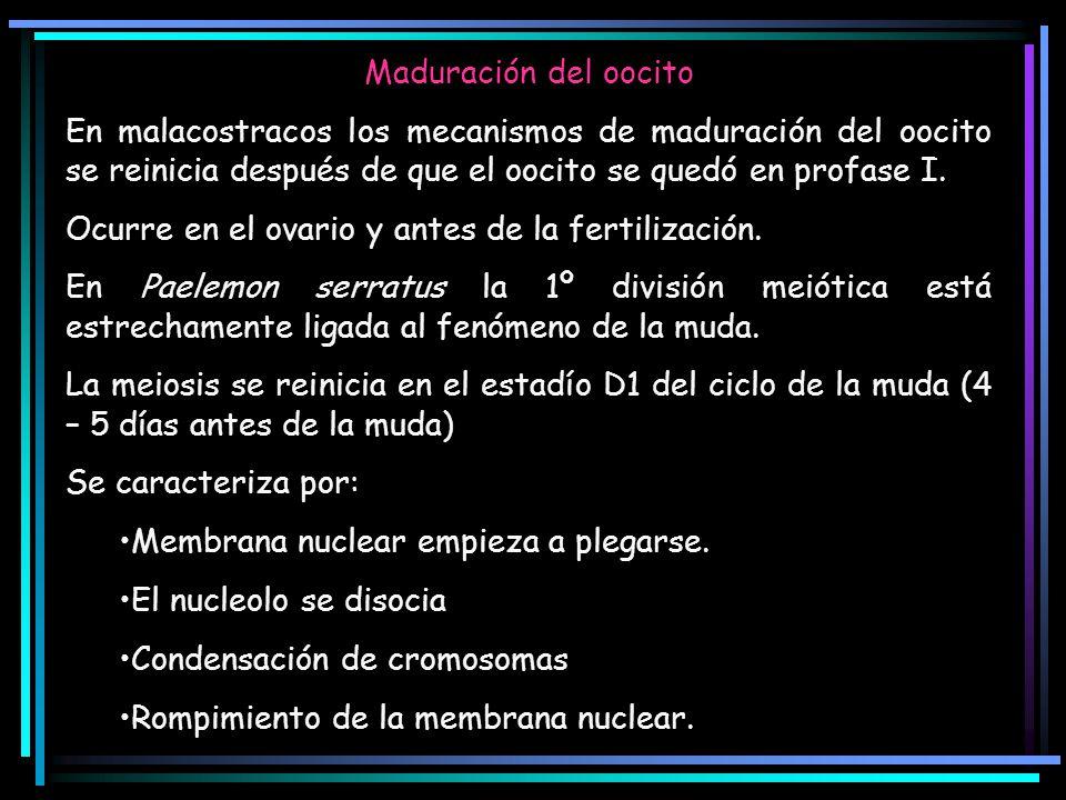 Maduración del oocito En malacostracos los mecanismos de maduración del oocito se reinicia después de que el oocito se quedó en profase I. Ocurre en e