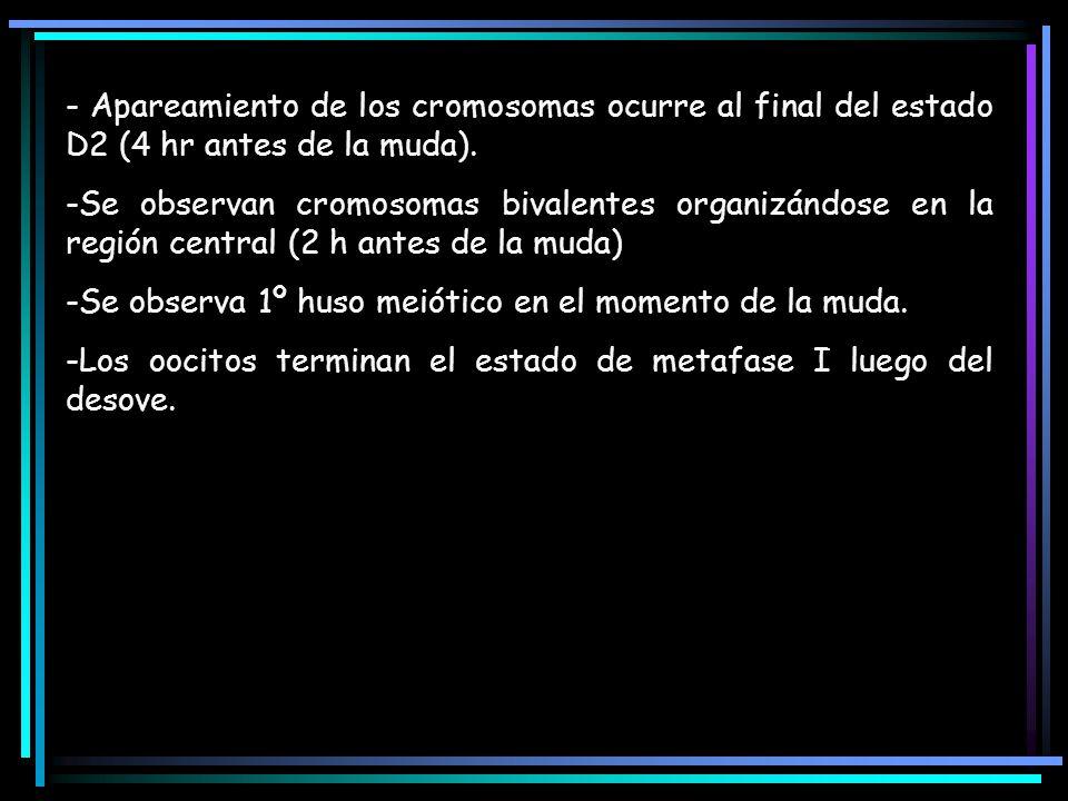 - Apareamiento de los cromosomas ocurre al final del estado D2 (4 hr antes de la muda).