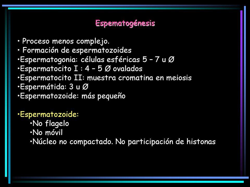 Espematogénesis Proceso menos complejo. Formación de espermatozoides Espermatogonia: células esféricas 5 – 7 u Ø Espermatocito I : 4 – 5 Ø ovalados Es