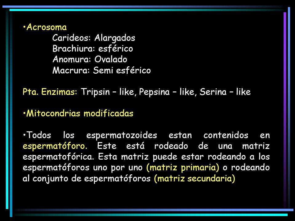 Acrosoma Carideos: Alargados Brachiura: esférico Anomura: Ovalado Macrura: Semi esférico Pta. Enzimas: Tripsin – like, Pepsina – like, Serina – like M