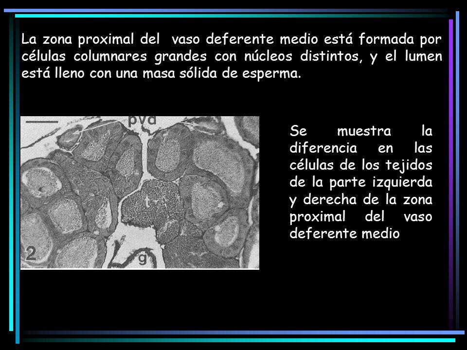 La zona proximal del vaso deferente medio está formada por células columnares grandes con núcleos distintos, y el lumen está lleno con una masa sólida
