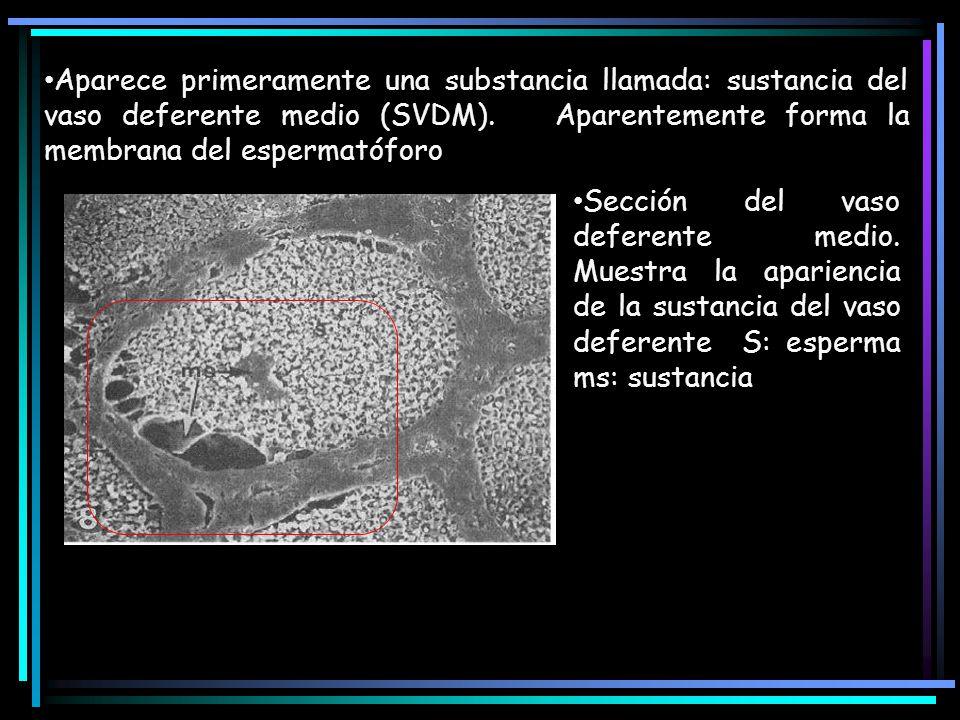 Aparece primeramente una substancia llamada: sustancia del vaso deferente medio (SVDM). Aparentemente forma la membrana del espermatóforo Sección del