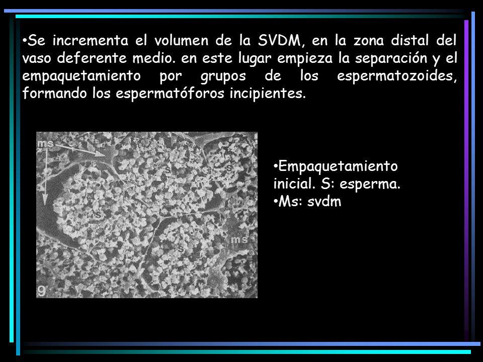 Se incrementa el volumen de la SVDM, en la zona distal del vaso deferente medio. en este lugar empieza la separación y el empaquetamiento por grupos d
