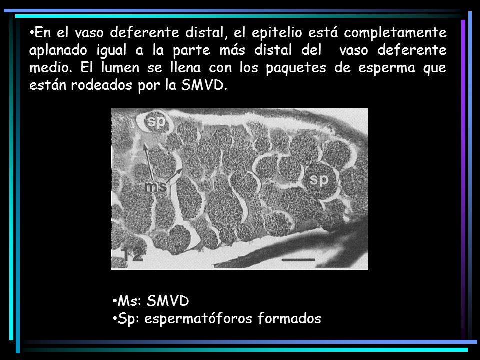 En el vaso deferente distal, el epitelio está completamente aplanado igual a la parte más distal del vaso deferente medio. El lumen se llena con los p