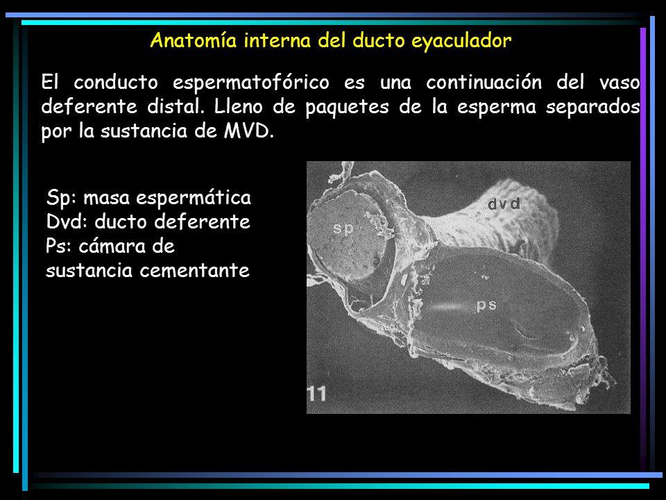 Anatomía interna del ducto eyaculador El conducto espermatofórico es una continuación del vaso deferente distal. Lleno de paquetes de la esperma separ