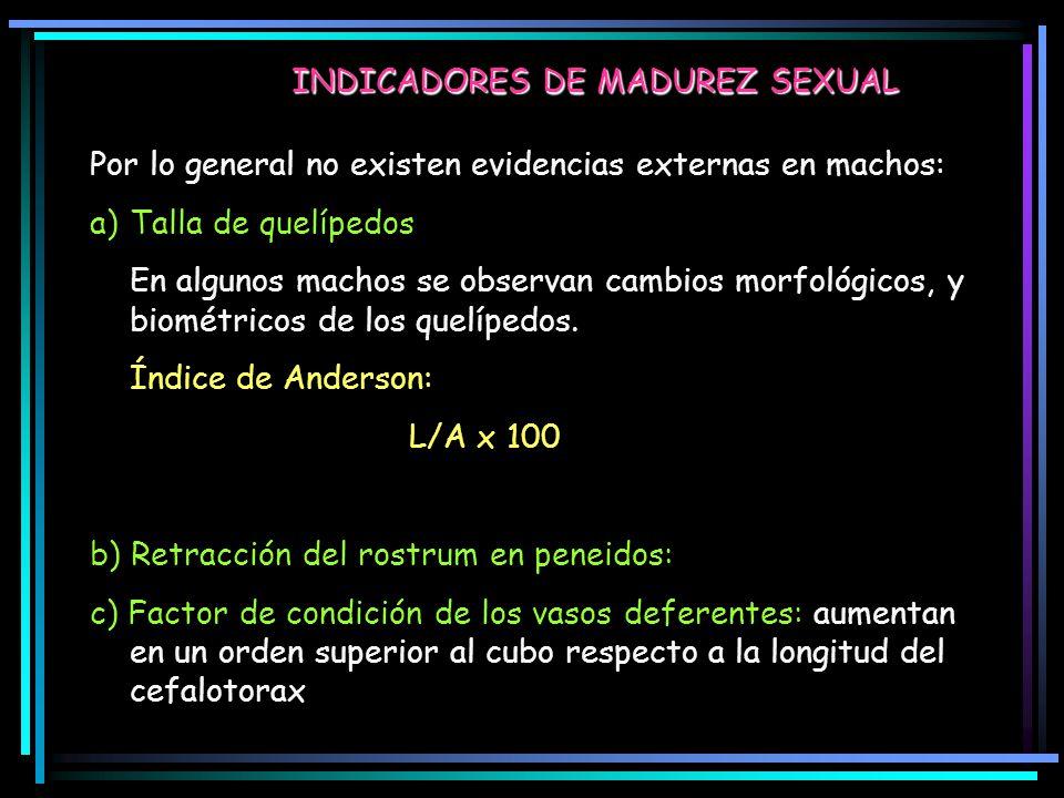 INDICADORES DE MADUREZ SEXUAL Por lo general no existen evidencias externas en machos: a)Talla de quelípedos En algunos machos se observan cambios morfológicos, y biométricos de los quelípedos.