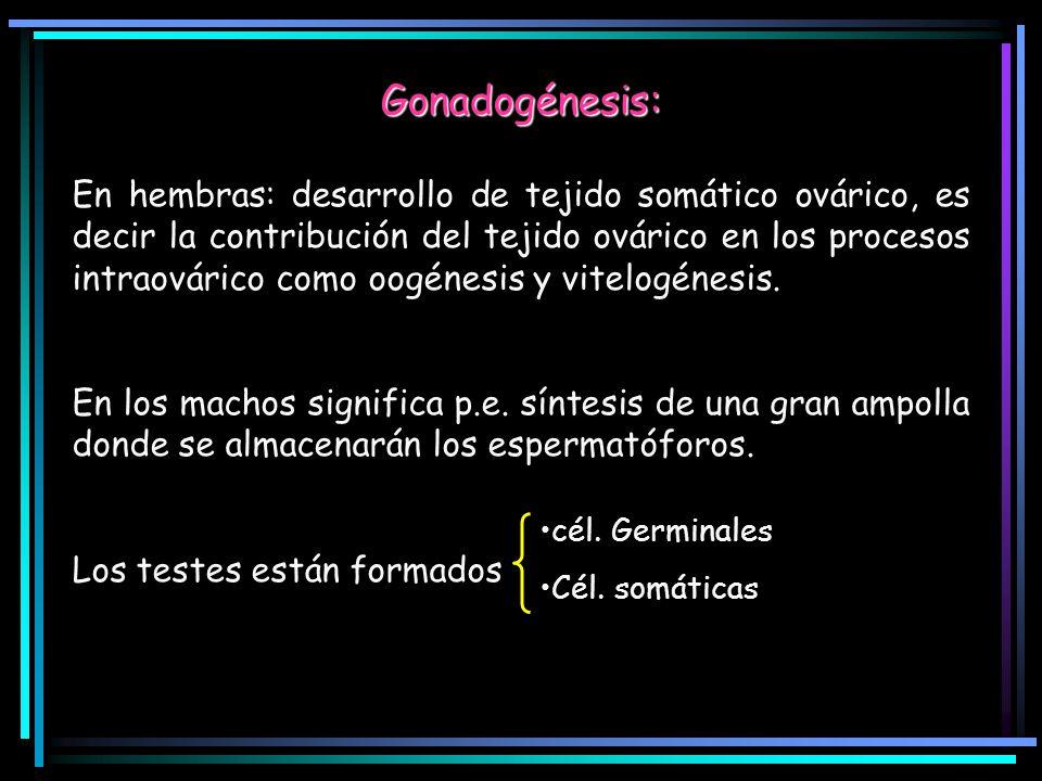 Gonadogénesis: En hembras: desarrollo de tejido somático ovárico, es decir la contribución del tejido ovárico en los procesos intraovárico como oogéne