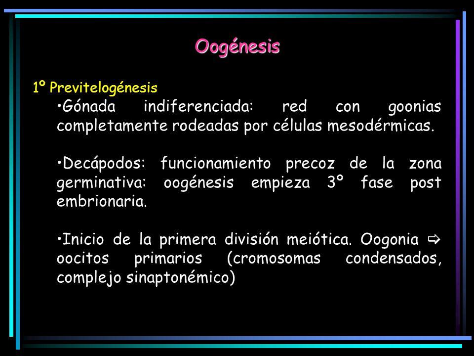 Oogénesis 1º Previtelogénesis Gónada indiferenciada: red con goonias completamente rodeadas por células mesodérmicas. Decápodos: funcionamiento precoz