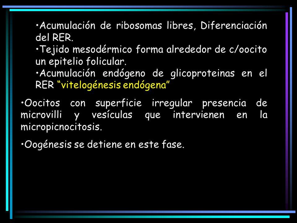 Acumulación de ribosomas libres, Diferenciación del RER. Tejido mesodérmico forma alrededor de c/oocito un epitelio folicular. Acumulación endógeno de