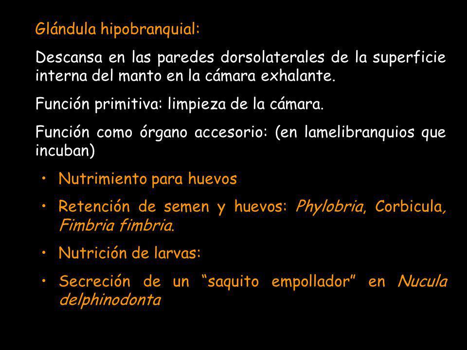 Glándula hipobranquial: Descansa en las paredes dorsolaterales de la superficie interna del manto en la cámara exhalante. Función primitiva: limpieza