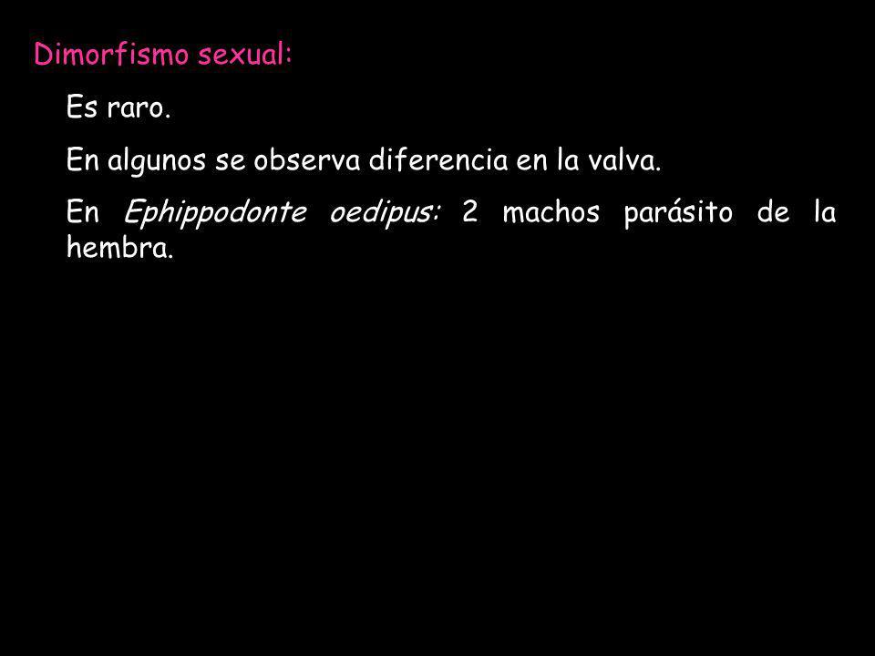 Dimorfismo sexual: Es raro. En algunos se observa diferencia en la valva. En Ephippodonte oedipus: 2 machos parásito de la hembra.