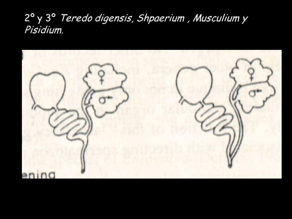 2º y 3º Teredo digensis, Shpaerium, Musculium y Pisidium.