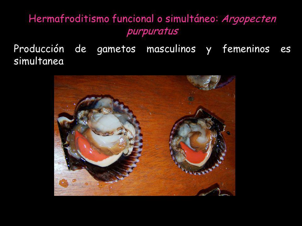 Hermafroditismo funcional o simultáneo: Argopecten purpuratus Producción de gametos masculinos y femeninos es simultanea