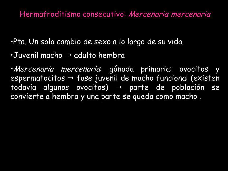 Hermafroditismo consecutivo: Mercenaria mercenaria Pta. Un solo cambio de sexo a lo largo de su vida. Juvenil macho adulto hembra Mercenaria mercenari