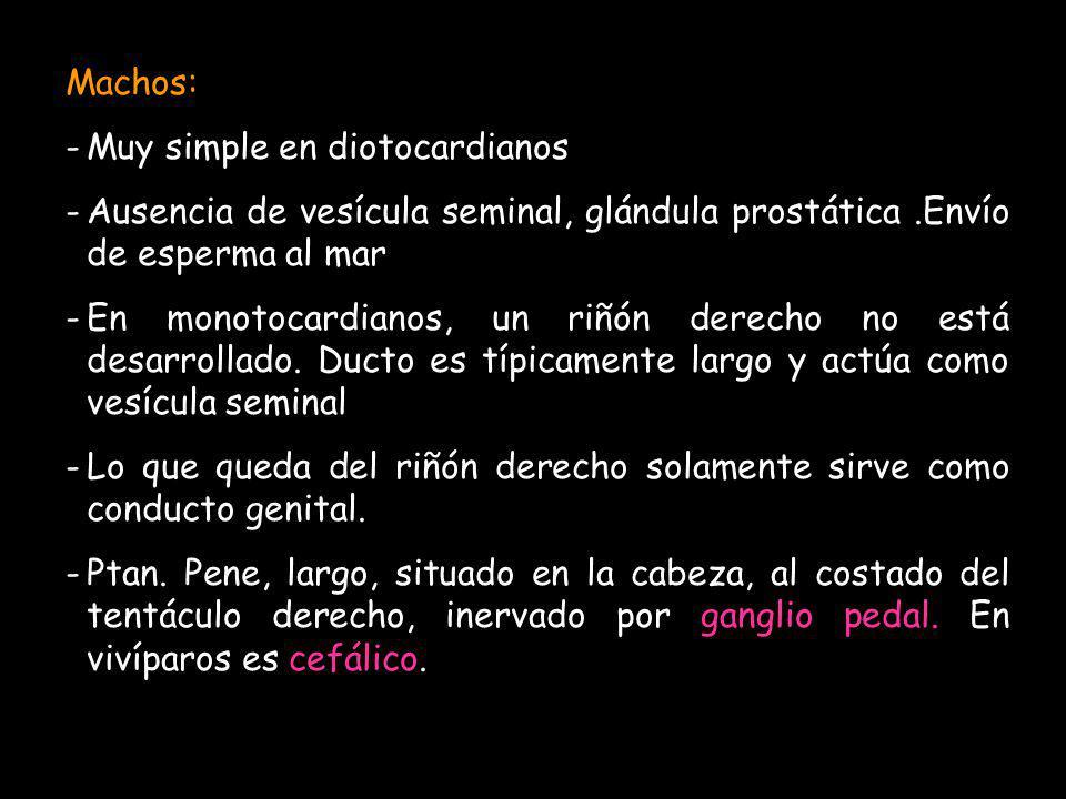 Machos: -Muy simple en diotocardianos -Ausencia de vesícula seminal, glándula prostática.Envío de esperma al mar -En monotocardianos, un riñón derecho
