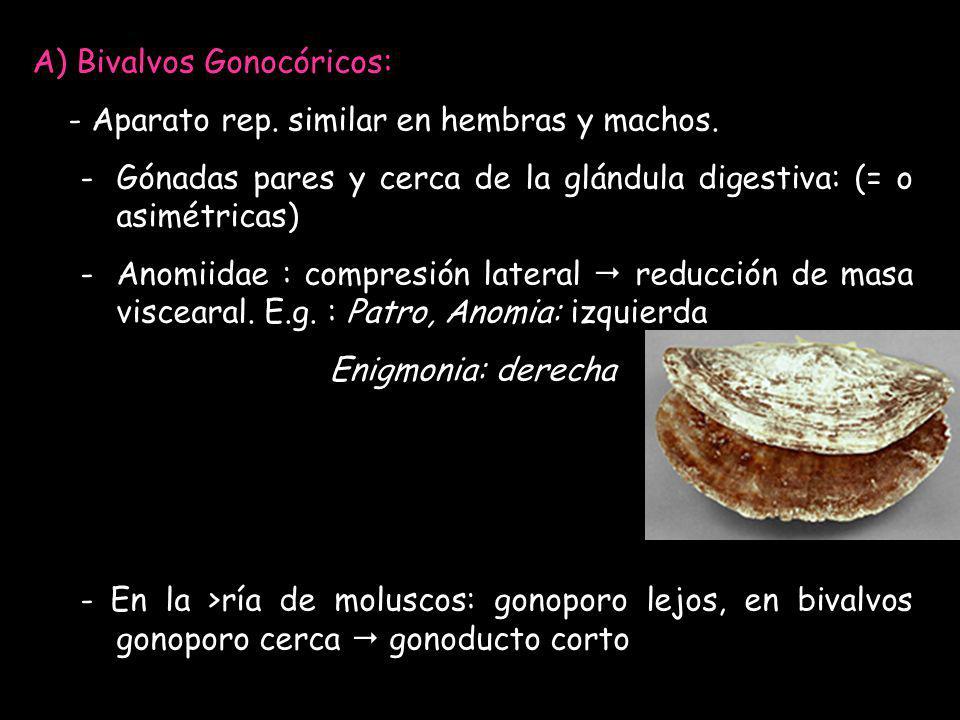 A) Bivalvos Gonocóricos: - Aparato rep. similar en hembras y machos. -Gónadas pares y cerca de la glándula digestiva: (= o asimétricas) -Anomiidae : c