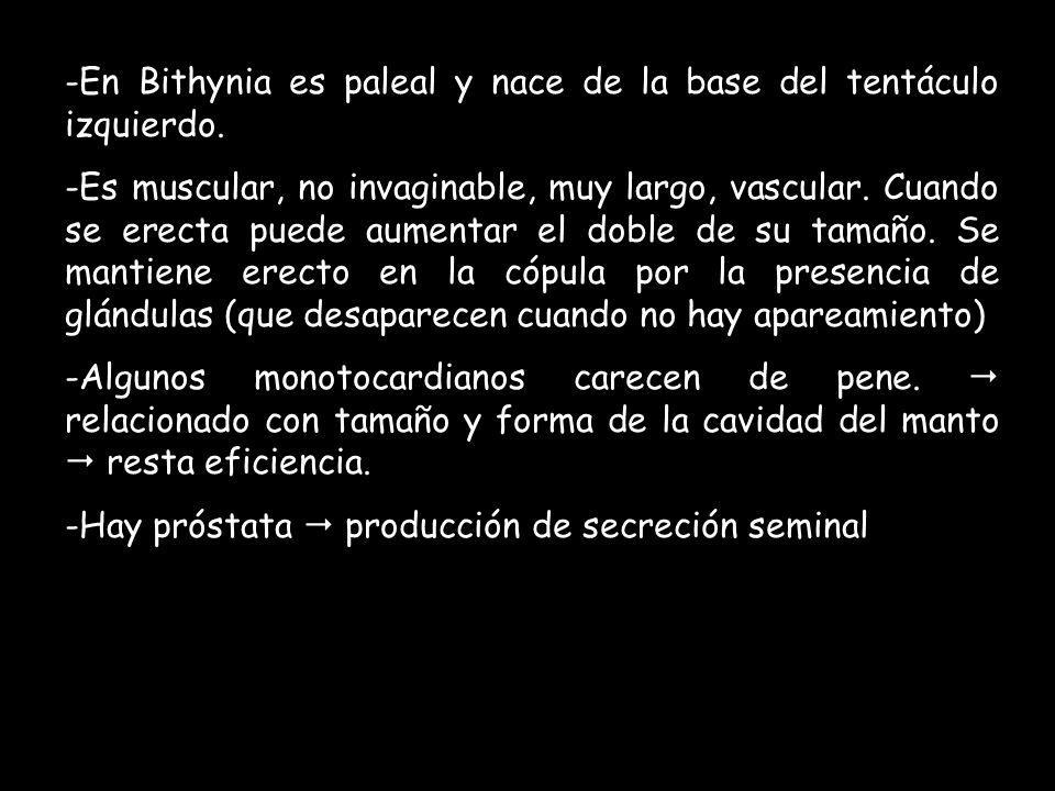 -En Bithynia es paleal y nace de la base del tentáculo izquierdo. -Es muscular, no invaginable, muy largo, vascular. Cuando se erecta puede aumentar e