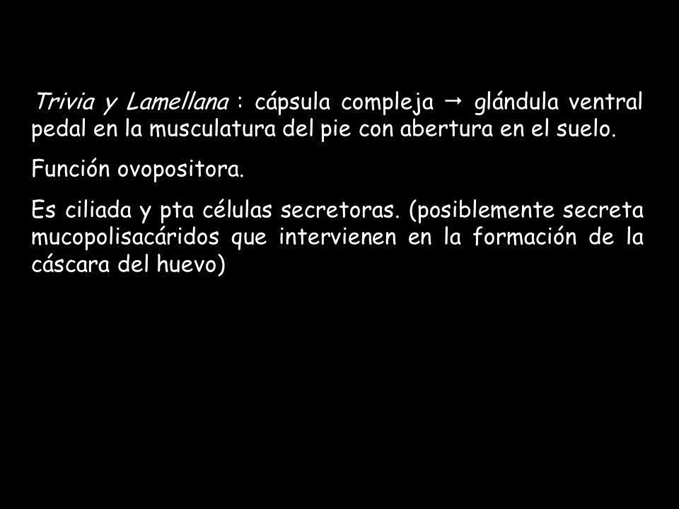 Trivia y Lamellana : cápsula compleja glándula ventral pedal en la musculatura del pie con abertura en el suelo. Función ovopositora. Es ciliada y pta