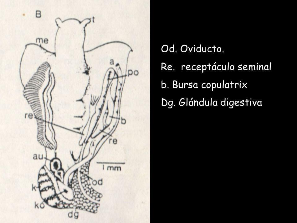 Od. Oviducto. Re. receptáculo seminal b. Bursa copulatrix Dg. Glándula digestiva