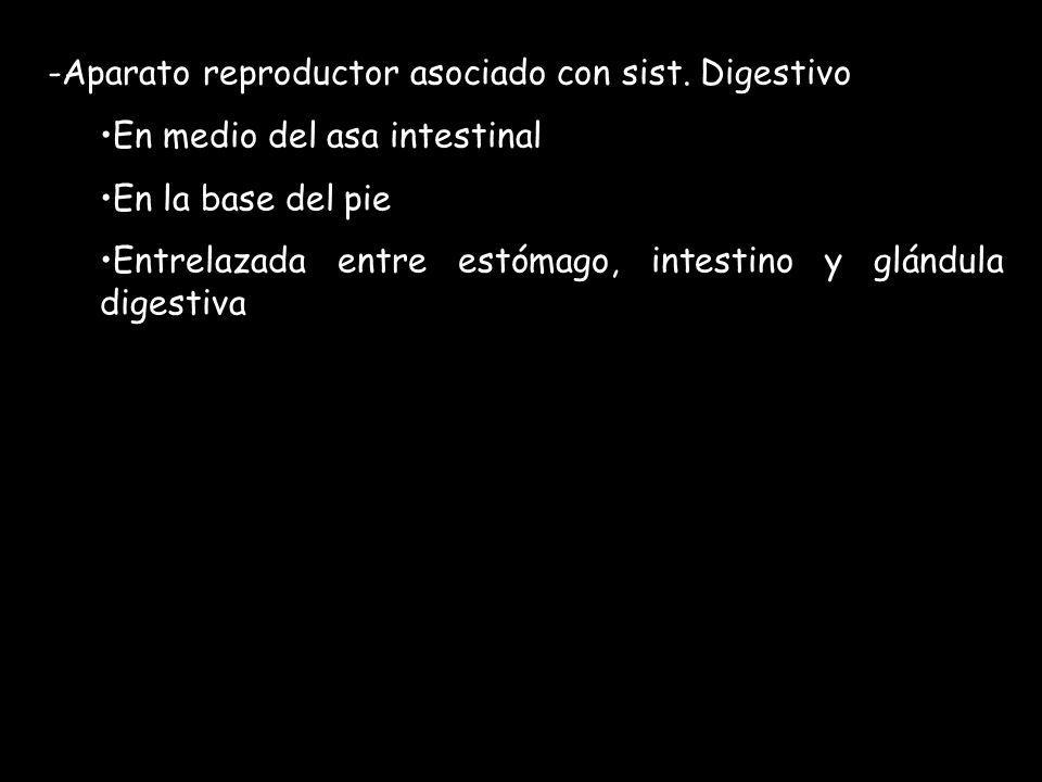 -Aparato reproductor asociado con sist. Digestivo En medio del asa intestinal En la base del pie Entrelazada entre estómago, intestino y glándula dige