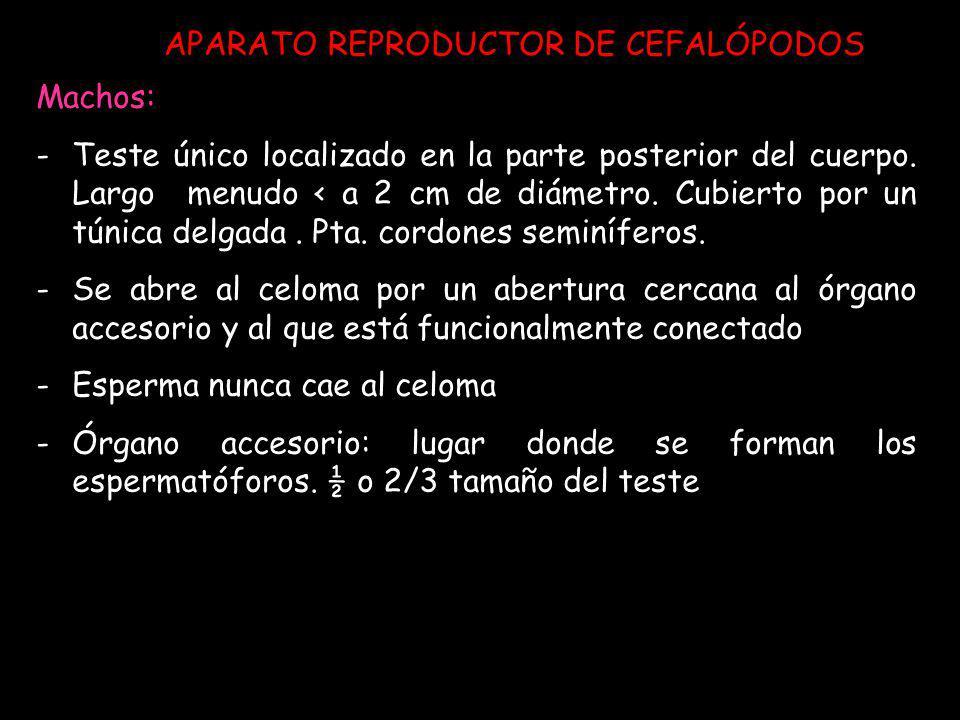 APARATO REPRODUCTOR DE CEFALÓPODOS Machos: -Teste único localizado en la parte posterior del cuerpo. Largo menudo < a 2 cm de diámetro. Cubierto por u