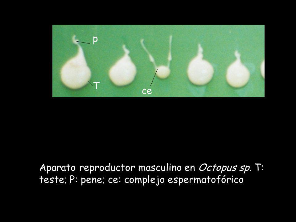 T p ce Aparato reproductor masculino en Octopus sp. T: teste; P: pene; ce: complejo espermatofórico