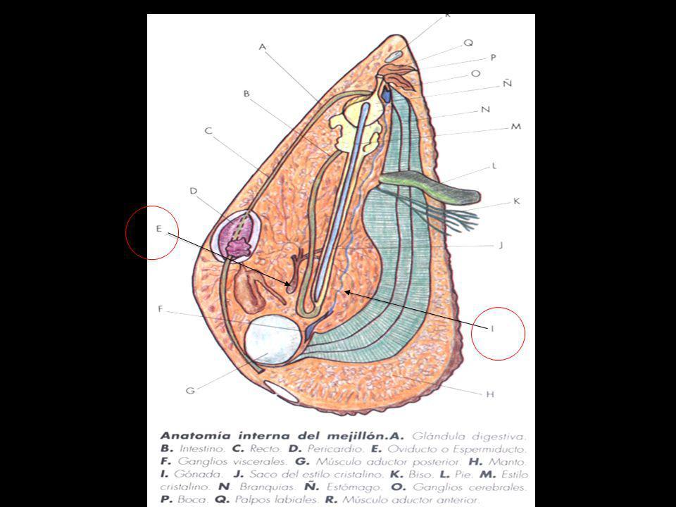 Ov: ovario; od: oviducto; ag: glándula albugina; cp: glándula de la cápsula; b: bursa copultrix; rc: receptáculo seminal
