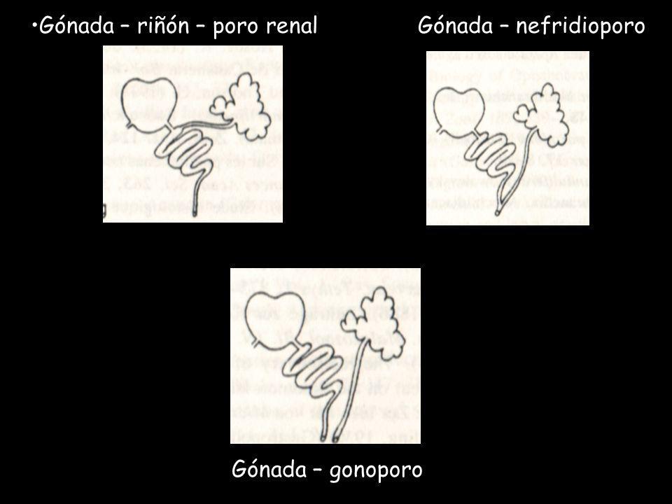 Gónada – riñón – poro renal Gónada – nefridioporo Gónada – gonoporo