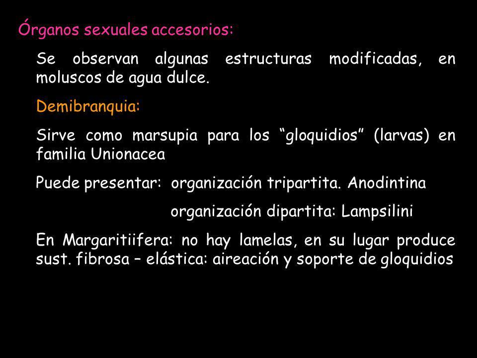 Órganos sexuales accesorios: Se observan algunas estructuras modificadas, en moluscos de agua dulce. Demibranquia: Sirve como marsupia para los gloqui