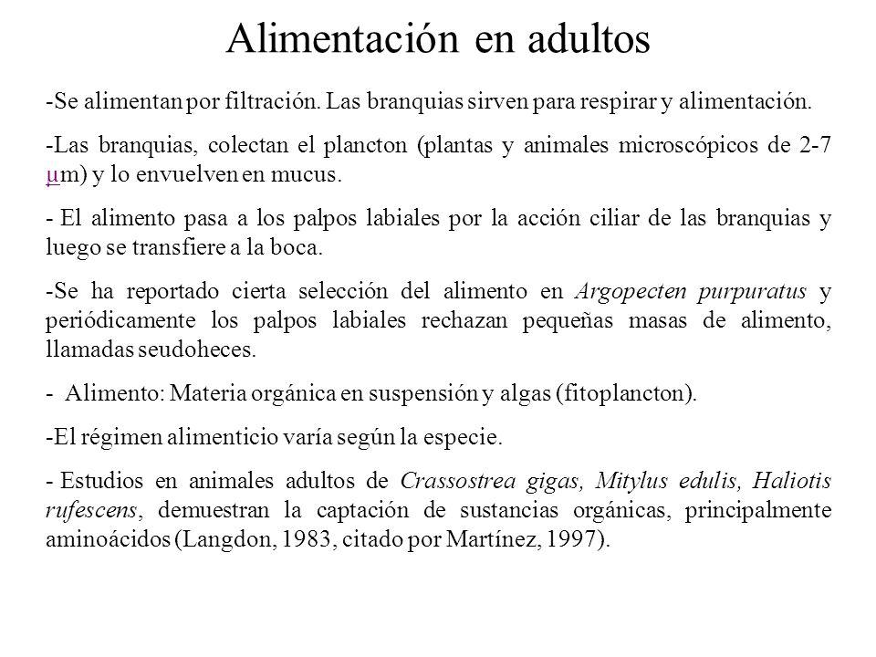 Alimentación en adultos -Se alimentan por filtración.