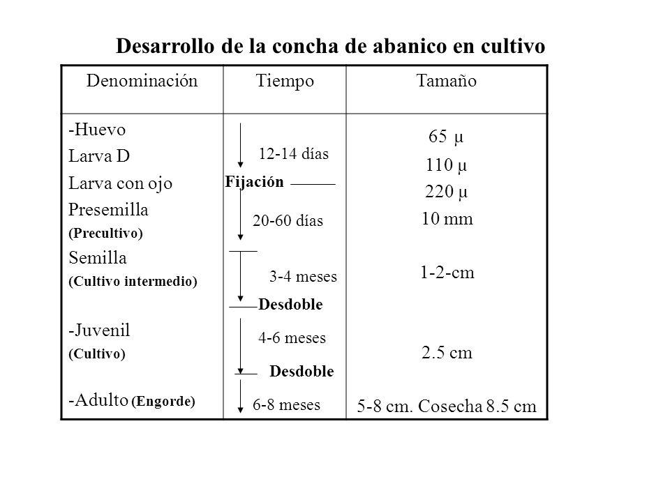 DenominaciónTiempoTamaño -Huevo Larva D Larva con ojo Presemilla (Precultivo) Semilla (Cultivo intermedio) -Juvenil (Cultivo) -Adulto (Engorde) 65 µ 110 µ 220 µ 10 mm 1-2-cm 2.5 cm 5-8 cm.