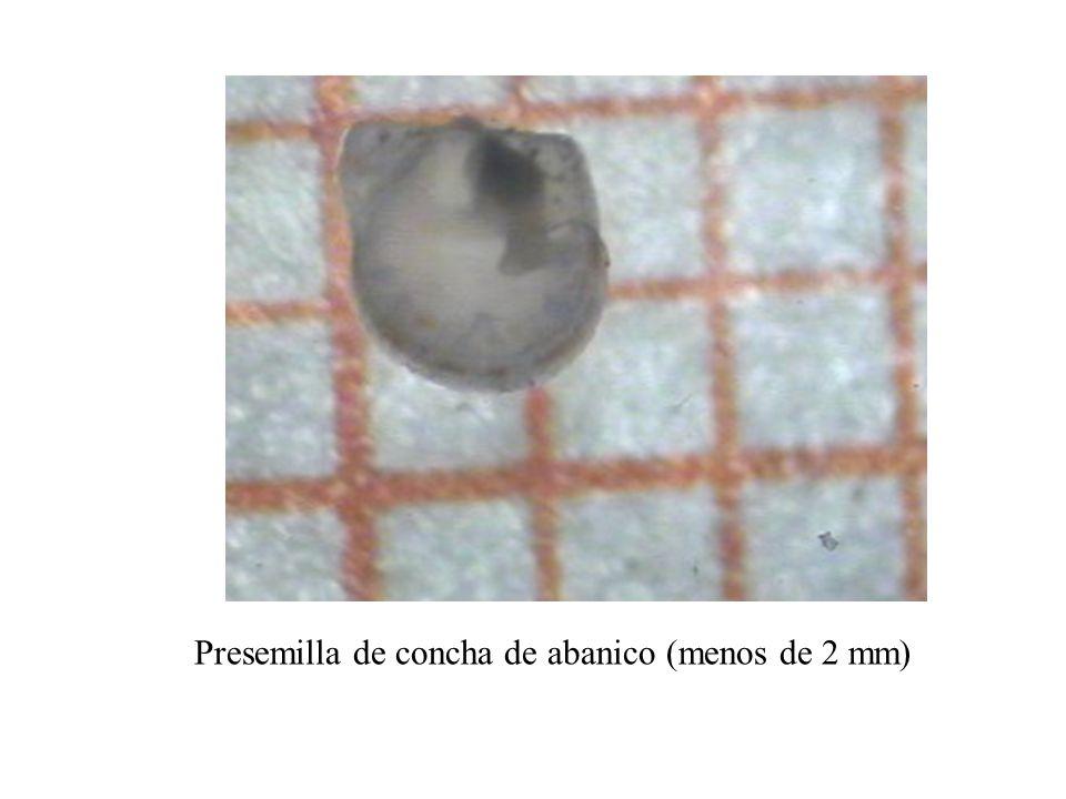 Presemilla de concha de abanico (menos de 2 mm)