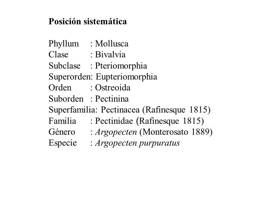 Posición sistemática Phyllum: Mollusca Clase: Bivalvia Subclase: Pteriomorphia Superorden: Eupteriomorphia Orden: Ostreoida Suborden: Pectinina Superfamilia: Pectinacea (Rafinesque 1815) Familia: Pectinidae ( Rafinesque 1815) Género: Argopecten (Monterosato 1889) Especie: Argopecten purpuratus