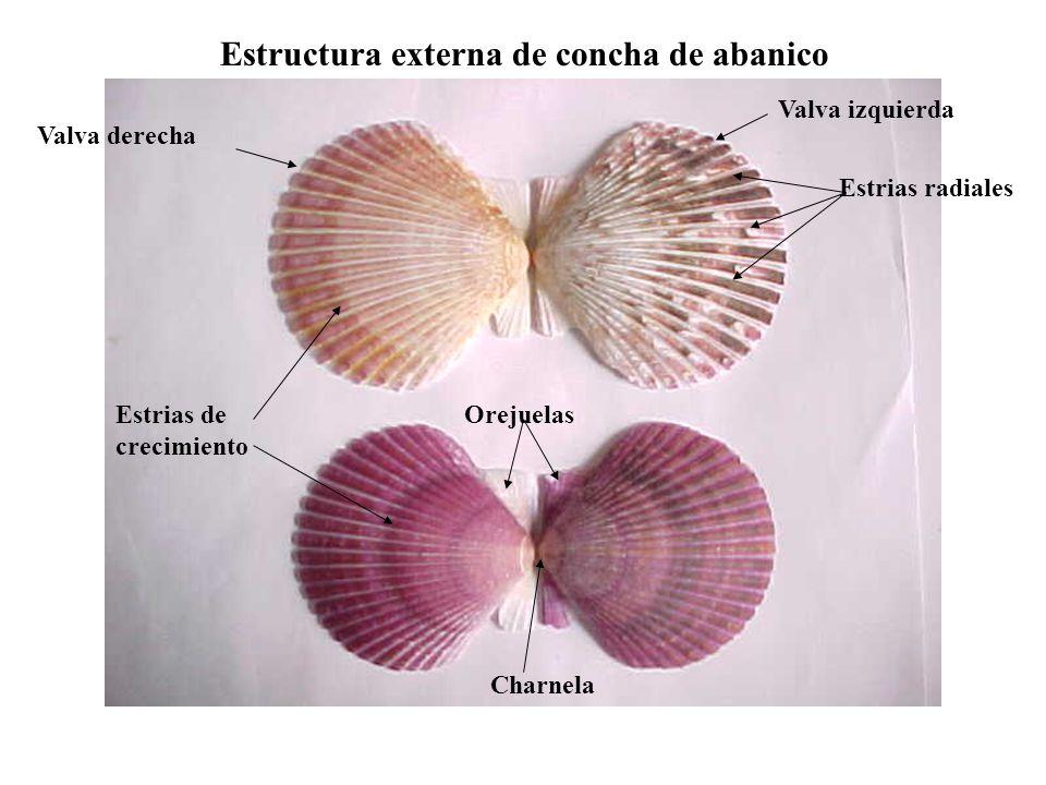 Estructura externa de concha de abanico Estrias radiales Valva izquierda Valva derecha Charnela OrejuelasEstrias de crecimiento