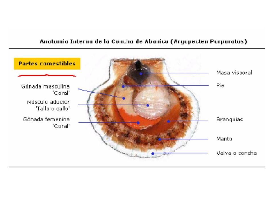 Estado larvalDimensión promedio Nº de días Estructuras observables -Ovulo -Blástula -Trocófora -Velígera recta -Veliconcha -Pedivelígera -Postlarva 60µ 70µ 100µ 200µ 250µ 270µ 0 1 2 3-13 13-29 29-30 31-35 Membrana vitelina Cilos periféricos Flagelo sensitivo, prototroca ciliada Prodisoconcha I.