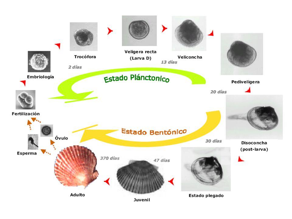 Huevo de concha de abanico emitiendo un cuerpo polar