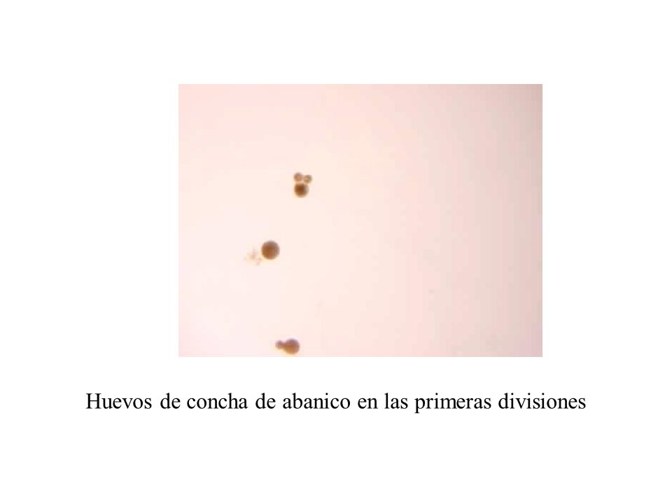 Huevos de concha de abanico en las primeras divisiones