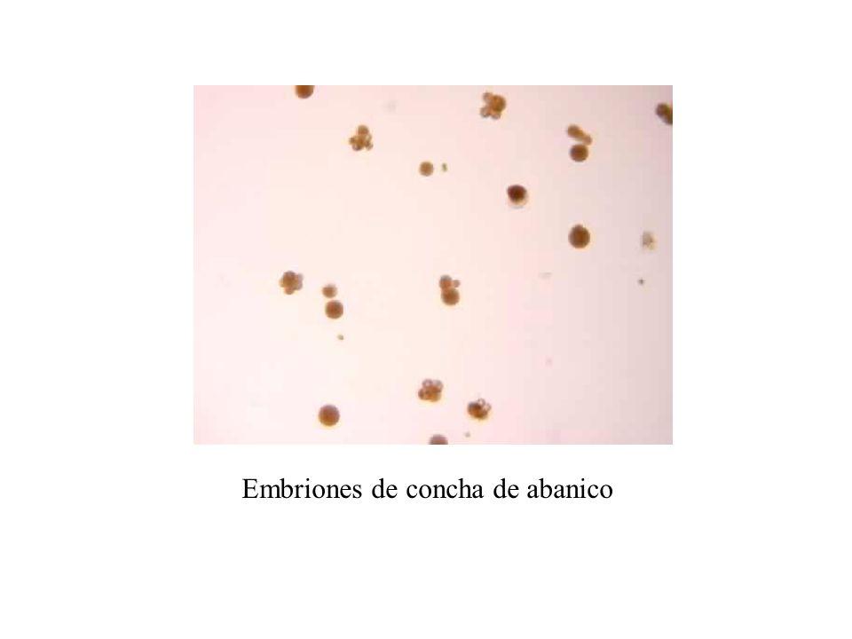 Larva D de concha de abanico