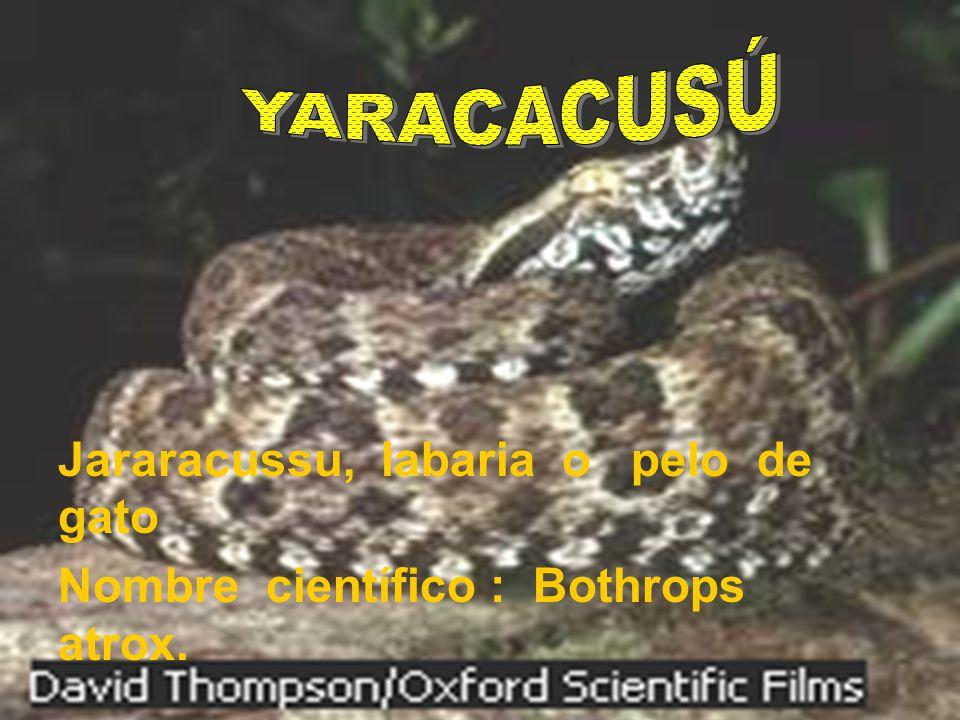 Jararacussu, labaria o pelo de gato Nombre científico : Bothrops atrox.