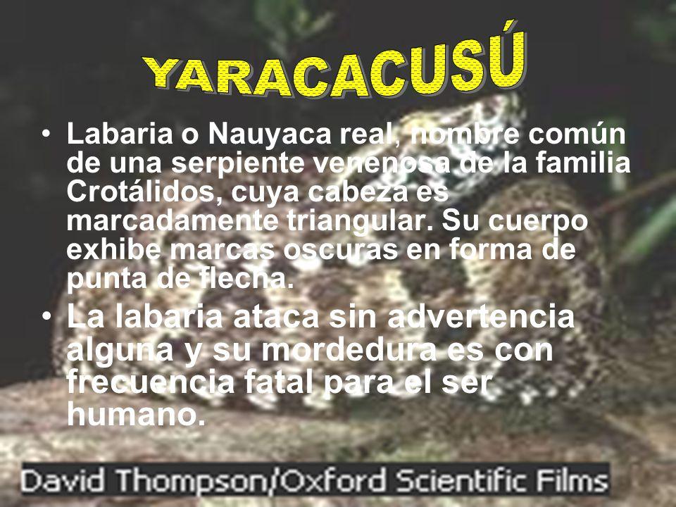 Labaria o Nauyaca real, nombre común de una serpiente venenosa de la familia Crotálidos, cuya cabeza es marcadamente triangular. Su cuerpo exhibe marc